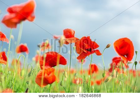 Nature, spring, blooming flowers concept - close-up on flowering red poppies in the field, a sunny spring day with blue sky and clouds background - empty space for text