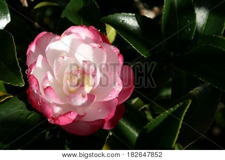 Morning light and dew on pink and white Camellia flower