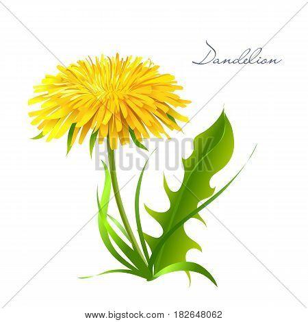 Vector illustration dandelion. Summer flower yellow dandelion. Dandelion vector icon, logo.