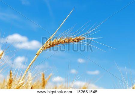 golden crop in field and blue sky