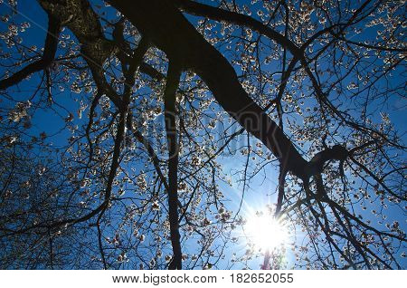 The sun's rays shine through the crown of a blossoming tree.