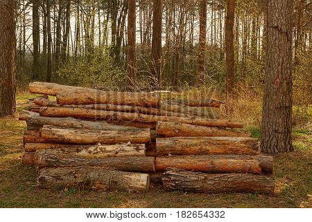 Cut pine logs in the spring forest