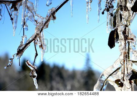 shrub branches bending under the weight of ice