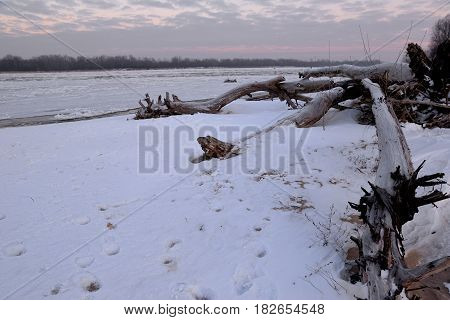 dry tree trunk and a winter dawn on the river bank