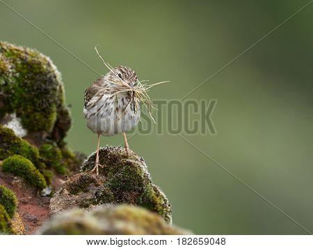 Berthelot's Pipit (Anthus berthelotii) in natural habitat in spring