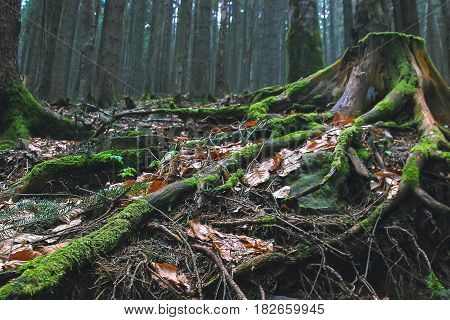 stump tree roots in green forest at cloudy weather
