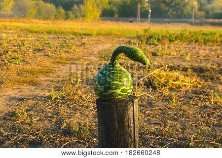 Strange watermelon or pumpkin harvest at autumn