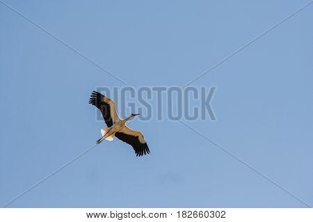 White Stork flying in the blue sky. Big bird