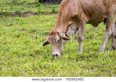 Image of brown cow is feeding on a summer pasture. Farm Animal.