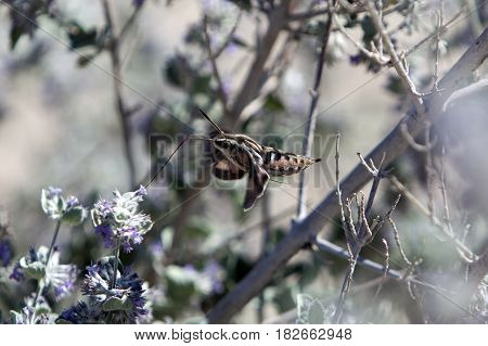 A white-lined sphinx or hummingbird moth drinking from a desert flower in bloom.