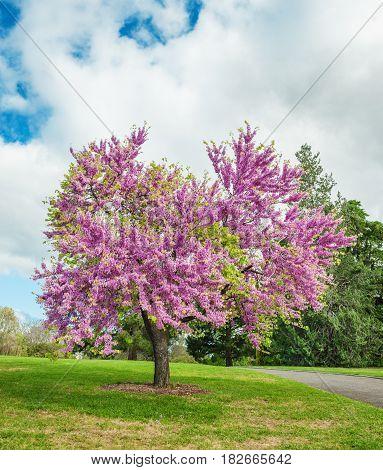 Legendary flowering Judas Tree against cloudy sky