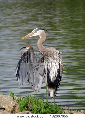 Portrait of a Great Blue Heron (Ardea herodias) standing with one wing lifted in front of a lake.