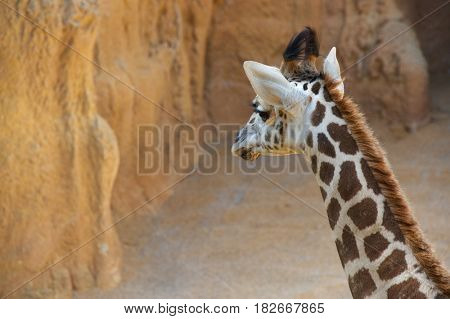 Giraffe in a zoo. Animal photographed in captivity. Valencia, Spain.
