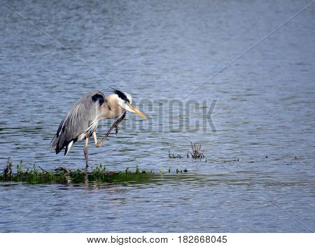 A Great Blue Heron (Ardea herodias) on a grassy patch in blue lake water with one foot raised in the air.