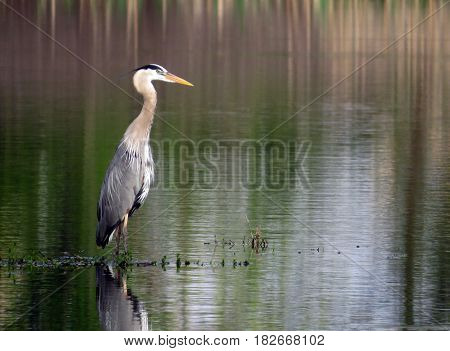 Portrait of a Great Blue Heron (Ardea herodias) slouching in front of a green lake