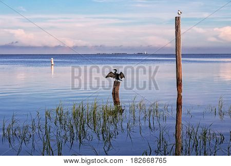 seabirds Birds on poles in the sea at sunrise Tampa Bay Florida