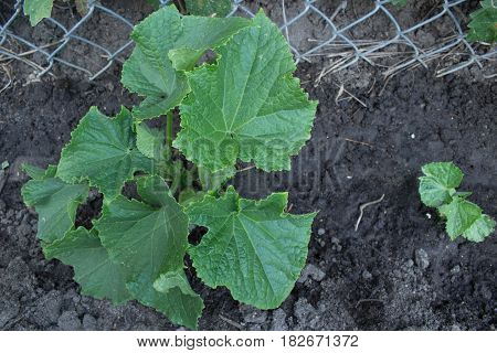 A healthy young cucumber plant growing organically in the garden.