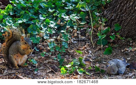 A dove laying down with a squirrel amongst ivy at the base of a tree.