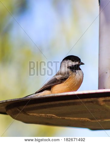 Cute Black-capped Chickadee posing perfectly on a bird feeder.