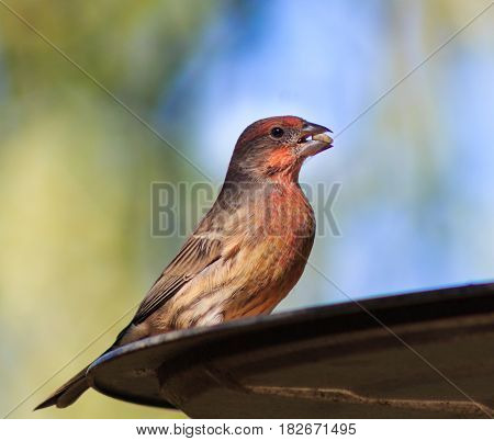 Beautifully colored male house finch at the bird feeder with a seed in its beak.