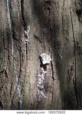 A Small Clump Of White Fungus Growing On The Side Bark Of A Tree With Cracks And Streaks And Texture