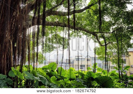 The Green Tree In City Garden And Buildings Of The Historic Centre Of Macau In The Background