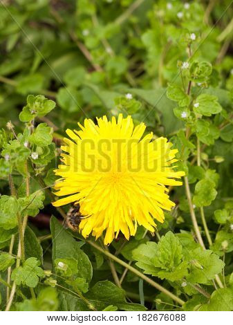 A Gorgeous Yellow Dandelion Head Flower Up Close In Detail Macro With A Bee On The Side Of The Flowe