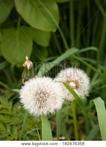 Two White Fluffy Dandelion Heads Macro With Green Leaves And Grass Around Bokeh In Clear Crisp Sharp