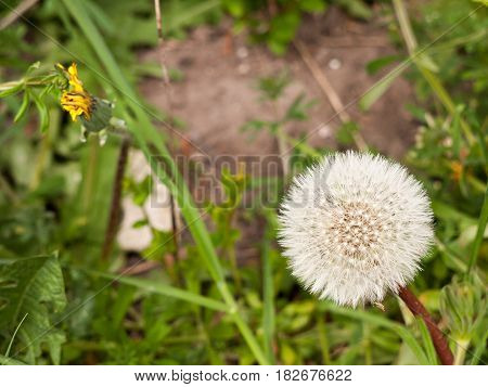 A Close Up Of A White Dandelion Head In Spring Upon Its Stem Intact And Full Make A Wish And Blow It
