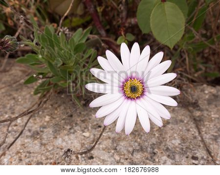 A Close Up Shot Of A White Purple And Orange Flower Its Petals At Full Span And Spread Out In Front