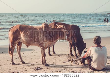 Goa, India - March 4: Cow And Man At Little Vagator Beach On March 4, 2017, Goa, India