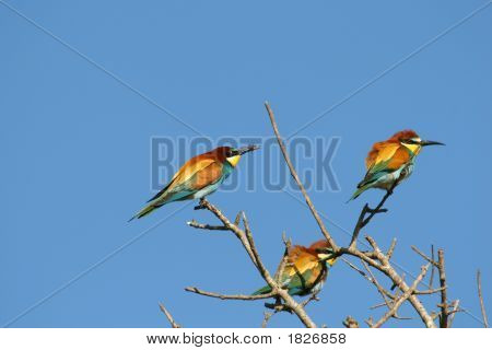Group Of Bee Eater Birds