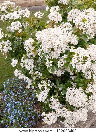 Beautiful Bush Of Bunches Of White Flower Heads In Spring Light With Some Small Blue Flower Heads In