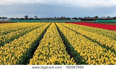Tulips in Bloom at Tulip Farm. Rows of yellow tulips in Dutch countryside.