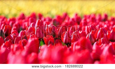 Red and Yellow Tulip Field in Netherlands. Dutch bulb field of colorful tulips.