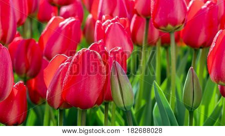 Field of Red Tulips. Dutch bulb field of colorful tulips.