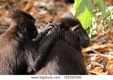 Sulawesi Monkey Celebes Crested Macaque