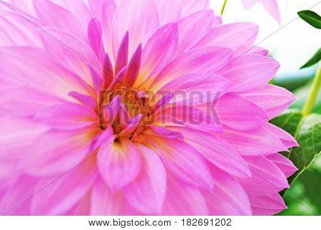 close up of a purple dahlia flower