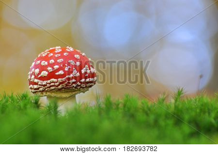 Amanita muscaria or Fly-agaric, Close up photo of a poisonous Red toadstool mushroom in the forest