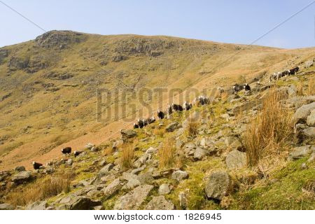 Sheep In The Lake District,Uk