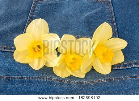 Closeup of three beautiful yellow narcissus flowers in a new blue denim jeans pocket with copy space.