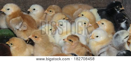 group of newly hatched domestic chicks -panoramic