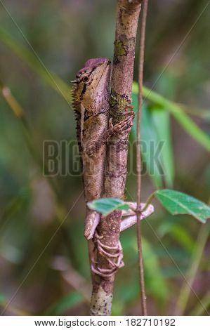 Wild lizard looking like a dragon climbing on tree