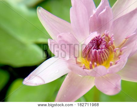 Macro Pollen Of Lotus ( Nymphaea Nouchali, Water Lilly) By The Rich Colors Of The Deep Blue Water Su