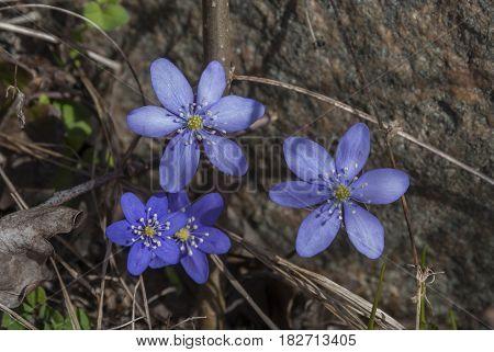 Blue anemone in springtime, symbol of springtime