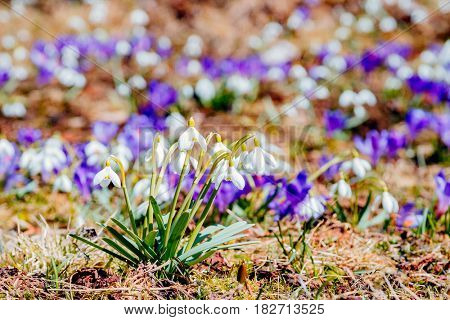 An impressive views of the first flowers. Gorgeous day and lovely scene. Location place Carpathian mountain Ukraine. Wonderful wallpaper. Abstract seasonal background. Explore the world's beauty.