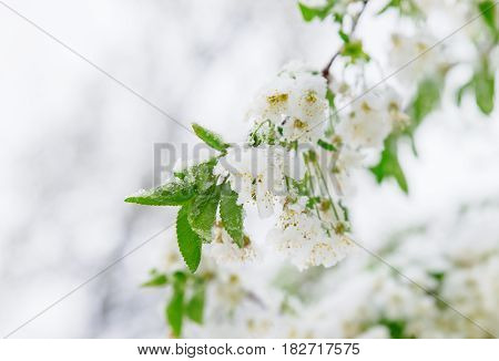 Abnormal Natural Phenomenon. Snow, Frost, Frost In Late Spring During The Flowering Of Trees. The Br