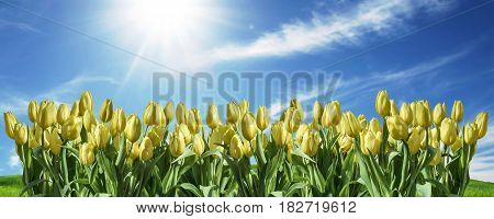 isolated yellow Tulip sky background white space greeting textspace may flowers spring Happy Eastern