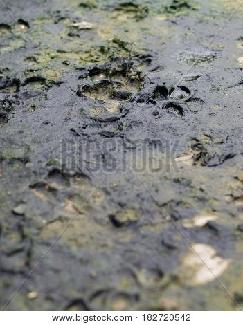 COLOR PHOTO OF DOG TRACKS IN THE MUD