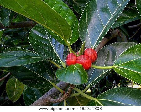 Branch with fruits of the ficus elastic tree also commonly known as: the rubber fig rubber bush rubber tree rubber plant or Indian rubber bush